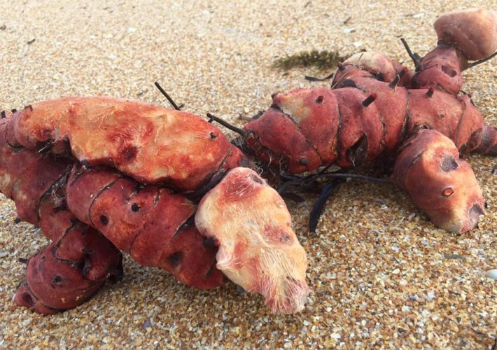 lobster potato discovered in florida